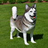 Huskey Dog Statue