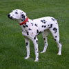 "View: Life Size Dalmatian Dog Statue 31.5""H"