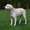"View: Life Size Yellow Labrador Dog Statue 30""H"